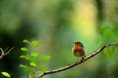 Free Robin Bird On Branch Dry Stock Photos - 27557603