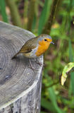Robin bird. An orange chested Robin Erithacus rubecula standing on a tree stump Royalty Free Stock Photography