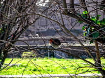 Robin bird on the Palatine Hill in Rome Royalty Free Stock Photography
