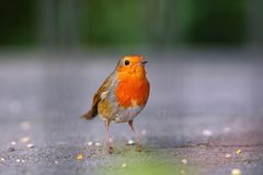 Robin bird on a pavement royalty free stock images