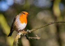 Robin bird perched in sunlight Stock Image