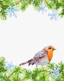 Robin bird, pine tree branches frame. Christmas card, empty blank. Watercolor royalty free illustration