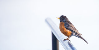 Robin bird on Railing. Morning light on red breasted Robin Bird. Bird sitting on metal railing in Goshen Indiana Royalty Free Stock Photography