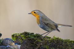 Robin bird red breast Royalty Free Stock Photo