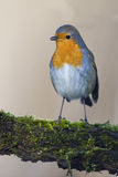 Robin bird red breast Royalty Free Stock Images