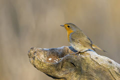 Robin bird red breast Royalty Free Stock Image