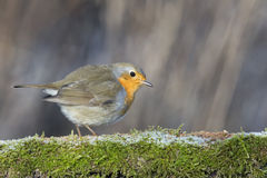 Robin bird red breast Stock Image