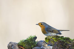 Robin bird red breast in winter time Royalty Free Stock Images