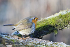 Robin bird red breast in winter time Stock Photo
