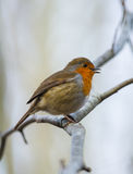 Robin bird resting on a tree branch Royalty Free Stock Photo