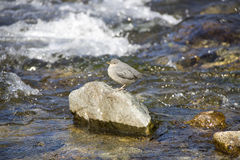 Robin bird on rock river Stock Images