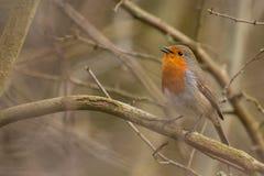 Robin Bird Rubecula do Erithacus foto de stock royalty free