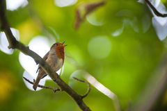 Robin bird singing in the forest Stock Image