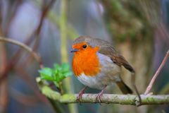 Robin bird on a branch royalty free stock photo