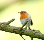 Robin bird. Spring Robin bird on a branch royalty free stock photography