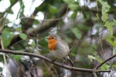 Robin bird in tree Stock Photography