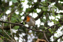 Robin bird in tree Royalty Free Stock Photos