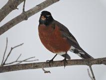 Robin Bird vermelho que está em um ramo dos invernos que olha fora! Foto de Stock Royalty Free