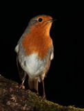 Robin bird. Royalty Free Stock Photography