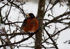 Robin Bird In Winter. Bird Sitting on Tree Branches on a Cold Winter day Stock Image