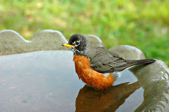 Robin in Birdbath. A robin enjoying a splash in a birdbath Royalty Free Stock Photography