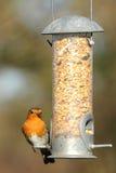 Robin on Birdfeeder. Photograph of a robin on a birdfeeder shot in natural light Royalty Free Stock Photos