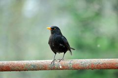Blackbird Turdus Merula Sitting on Railing royalty free stock images