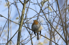 Robin on blue sky Stock Photo