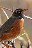 Robin in boom stock afbeeldingen