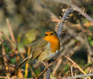 Robin on Bramble Royalty Free Stock Photography