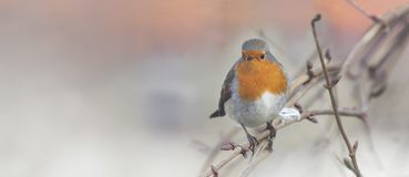Robin on branch Royalty Free Stock Photography
