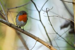 Robin on a branch Royalty Free Stock Image