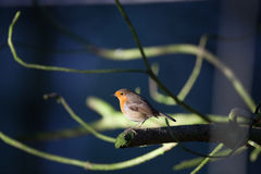 Robin on branch Royalty Free Stock Image