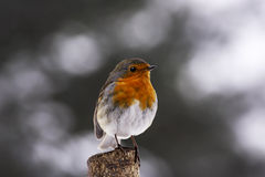 Robin on branch Stock Photos
