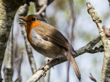 Robin Redbreast Stock Photos