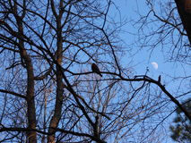 Robin on branch. Bird on branch with moon in background Royalty Free Stock Photos