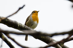 Robin on branch Stock Image