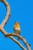 Robin on Branch Royalty Free Stock Photos