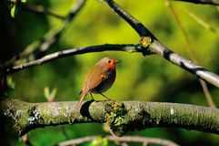 Robin on a branch. Stock Photography