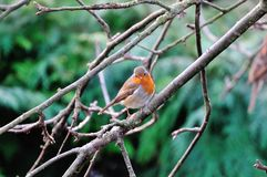 Robin on a branch. Royalty Free Stock Images