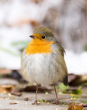Robin on a branch. The photo shows a robin on a branch Stock Images