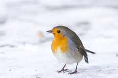 Robin on a branch Royalty Free Stock Images