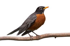 Robin on a Branch. Profile of a robin perched on a branch. With Its head cocked sideways, its bright orange breast is prominently displayed. white background stock photography