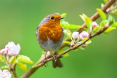 Robin on a branch with white flower buds. A red robin (Erithacus rubecula) in between white fruit blossom buds as a concept for springtime Stock Images