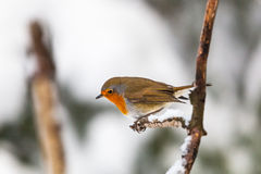 Robin on a branch Stock Image