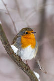 Robin on a branch in winter Royalty Free Stock Photos