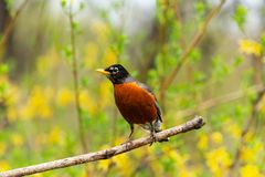 Robin on a branch with yellow flowers background. American robin, Turdus migratorius, songbird perched on a branch with yellow forsythia flowers in background Royalty Free Stock Photos