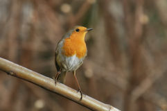 Robin on a branch. Young robin on a branch in winter Royalty Free Stock Images
