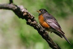 Robin - branche Image libre de droits