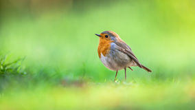 Robin on bright green background Royalty Free Stock Photo